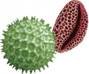 현미경으로 관찰한 꽃가루의 모습. 꽃가루는 피부를 자극해 가려움을 일으킨다. - 어린이과학동아 제공